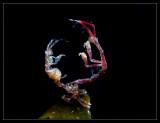 Skeleton Shrimp Boxing