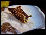 Polycera atra nudibranch