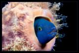 Blue Headed Wrasse in a tube sponge