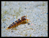 learchis poica nudibranch
