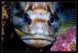 Copper Rockfish
