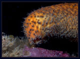 Sea Cucumber moving along the reef