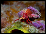 Red Reef Hermit Crab with babies