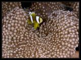 Anemonefish and shrimp