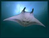Manta Ray from Yap