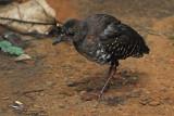 Red-legged Crake, Juvenile