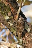 Bar-tailed Tree-creeper