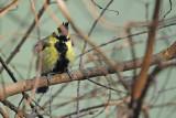 Black-lored Tit ( Parus xanthogenys )