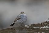Plumbeous Water-redstart , Female