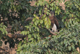 Lesser fisher Eagle