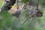 Jungle Babbler (Turdoides striata)