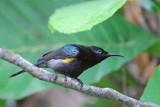 Copper-throated Sunbird,  Male