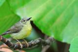 Plain-throated Sunbird , female