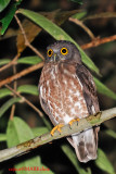Brown Hawk Owl (Ninox scutulata)