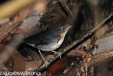 Siberian Blue Robin (Luscinia cyane) , Immature Male