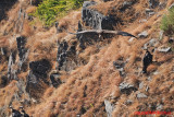 Himalayan Griffon (Gyps himalayensis)