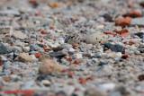 Little Tern Nesting 06/09