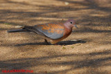 Laughing Dove (Streptopelia senegalensis )