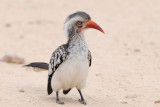 Red-billed Hornbill (Tockus erythrorhynchus )