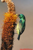 Collared Sunbird (Hedydipna collaris )