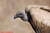 White-backed Vulture (Gyps africanus)