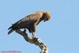 Brown Snake Eagle ( Circaetus cinereus )