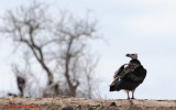 White-headed Vulture (Trigonoceps occipitalis )