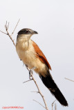 Burchell's Coucal (Centropus burchelli)