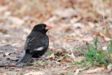 Red-billed Buffalo Weaver (Bubalornis niger )