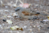 Southern Grey-headed Sparrow (Passer diffusus )