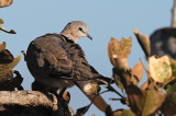Cape Turtle Dove_01