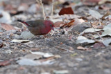 Red-billed Firefinch (Lagonosticta senegala )