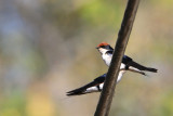 Wire-tailed Swallow ( Hirundo smithii )