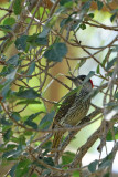 Golden-tailed Woodpecker (female)