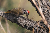 Bearded Woodpecker (Thripias namaquus)