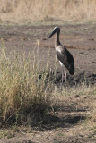 Saddle-billed Stork (juvenile)