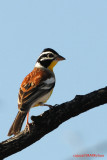 Golden-breasted Bunting ( Emberiza flaviventris)
