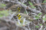 Yellow-fronted Canary (Serinus mozambicus )