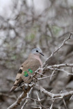 Emerald-spotted Wood Dove (Turtur chalcospilos )