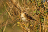 Fan-tailed Cisticola (=Zitting Cisticola)