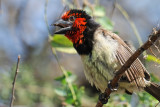 Black-collared Barbet (Lybius torquatus)
