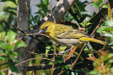 Lesser Masked or Golden Weaver ??