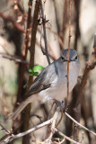 Bluegrey Flycatcher or Ashy