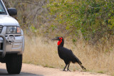 Ground-hornbills (Bucorvinae)