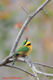 Little Bee-eater (Merops pusillus )
