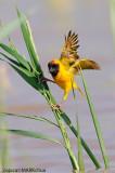 Northern Masked-weaver (Ploceus taeniopterus)