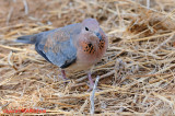 Laughing Dove (Stigmatopelia senegalensis)