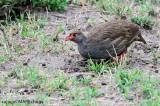 Red-necked Spurfowl (Francolinus afer)