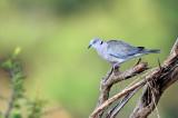 African Mourning Dove (Streptopelia decipiens)