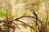 Red-billed Hornbill (Tockus erythrorhynchus)